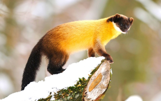 Wood On Marten (click to view)