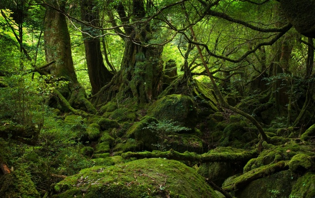 Yakushima Forest (click to view)