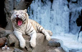 Yawning Tiger Sitting On Rock