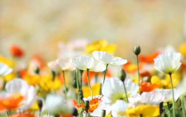 Yellow And White Poppies Flowers (click to view)