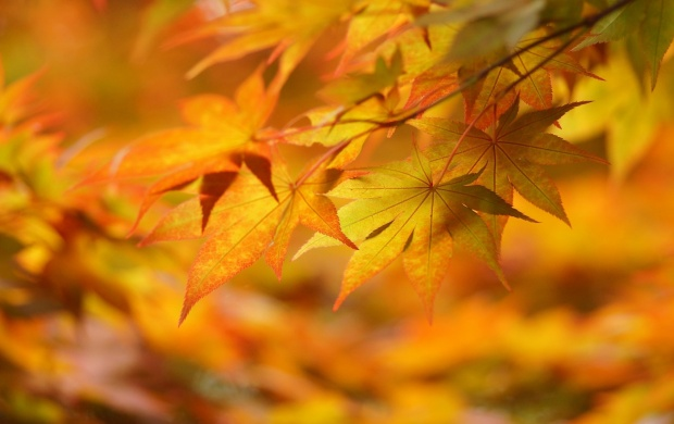 Yellow Autumn Leaves (click to view)