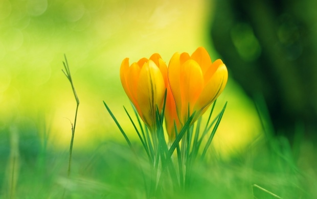 Yellow Crocus Flowers (click to view)