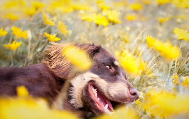 Yellow Flower Field The On Dog (click to view)