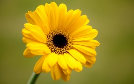 Yellow Gerbera Flower Green Background