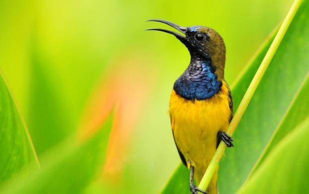 Yellow Hummingbird Wallpapers