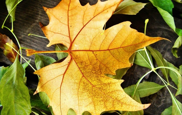 Yellow Maple Leaf (click to view)