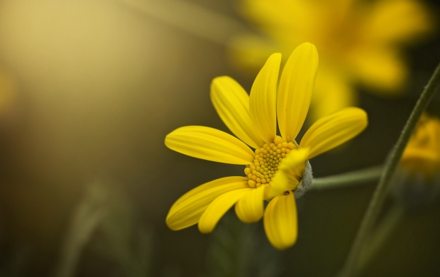 Yellow Petals Flower Bokeh (click to view)