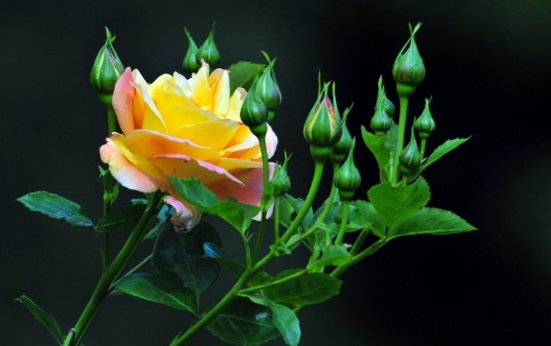 Yellow Rose And Buds (click to view)