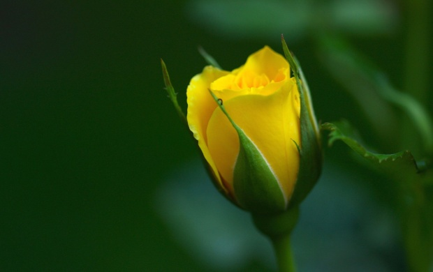 Yellow Rose Illustration (click to view)