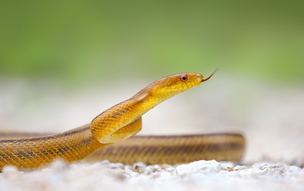 Yellow Snake (click to view)