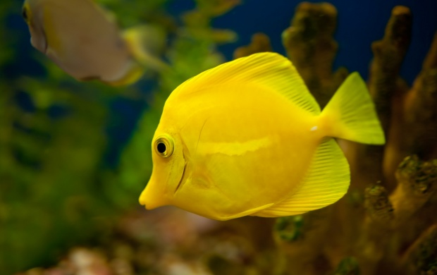 Yellow Tang Fish (click to view)
