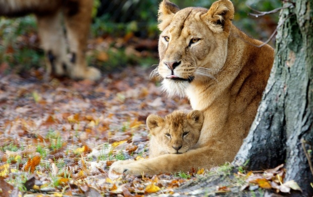 Young Lioness With Cute Cub (click to view)