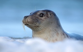 Young Seal