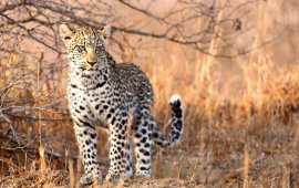 Young Wild Leopard