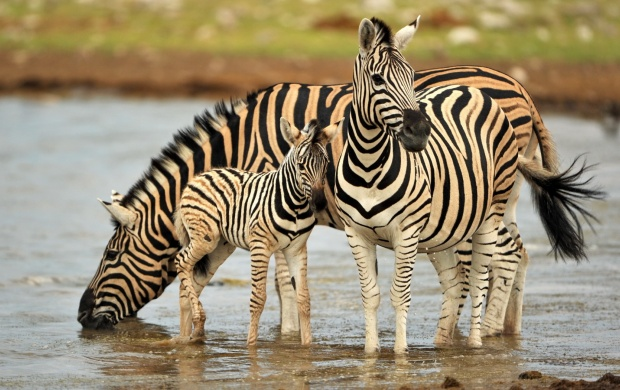 Zebra Drinking Water (click to view)