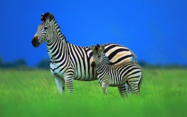 Zebra Foal And Zebra