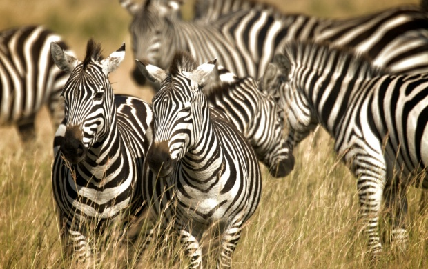 Zebra Pals (click to view)