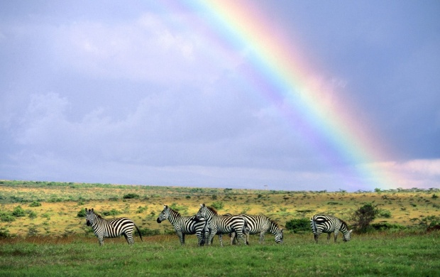 Zebra Rainbow (click to view)