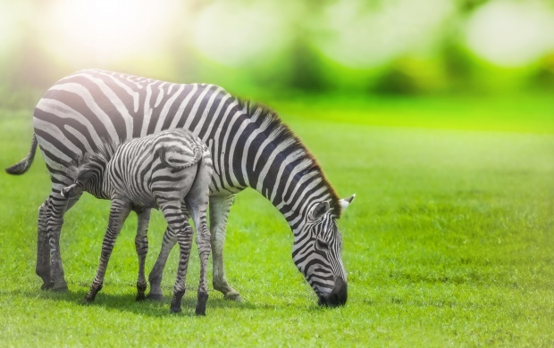 Zebra With Young One (click to view)
