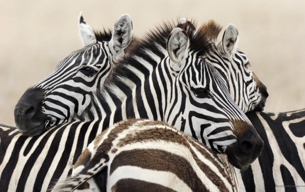 Zebras (click to view)