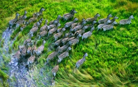 Zebras Group Running In Grassland