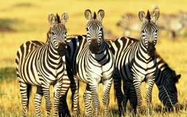 Zebras Standing In Farm