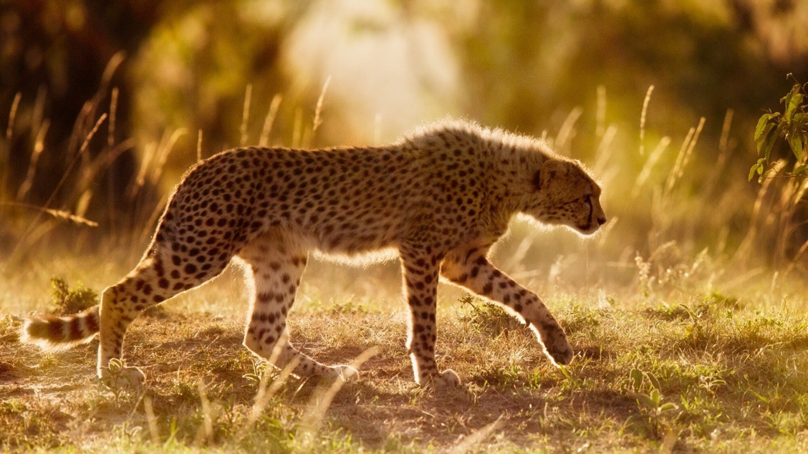Africa Cheetah Wild Cat