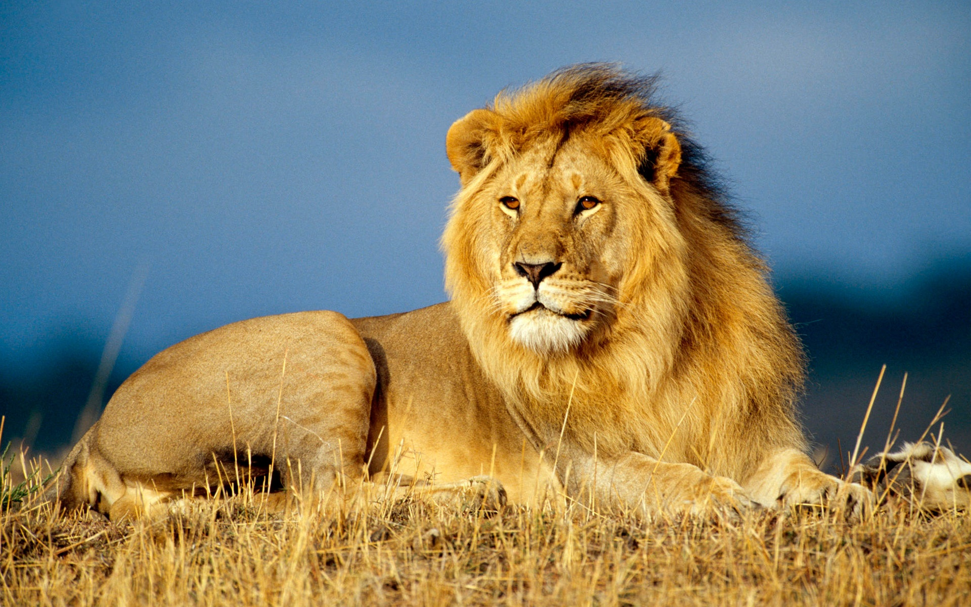 African Lions Wallpapers And Pictures