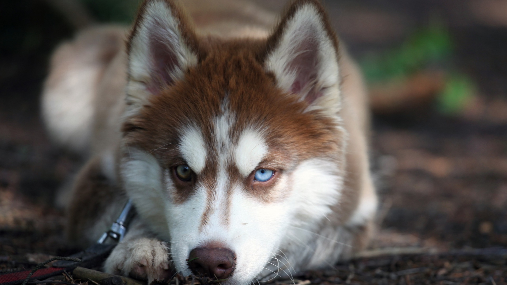 Angry Husky Dog Face Wallpapers