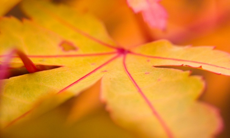 Autumn Orange Leaf Closeup