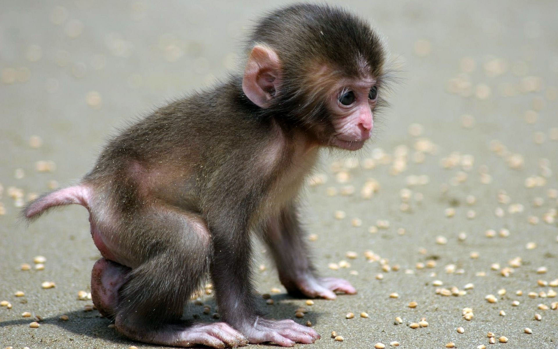 Baby Monkey Wallpaper 944503