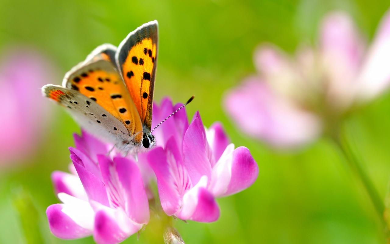 1280 x 800 butterfly wallpaper - photo #20