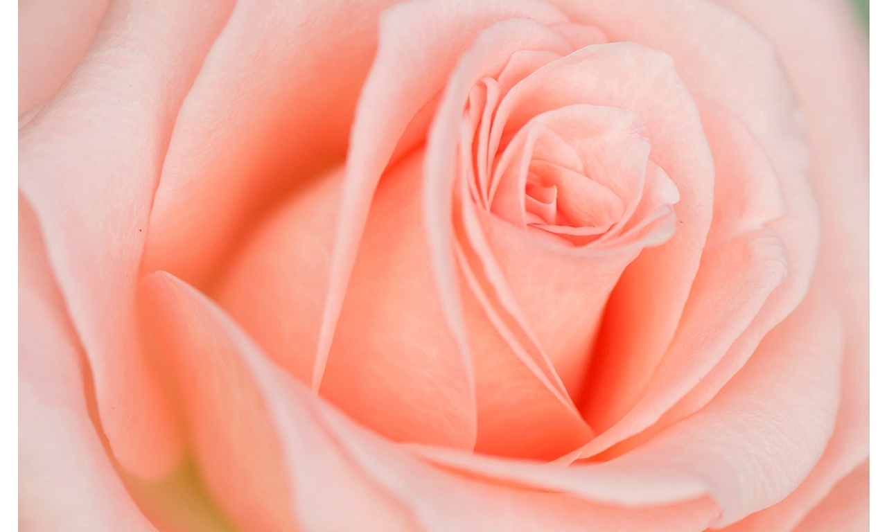 Beautiful Light Pink Rose