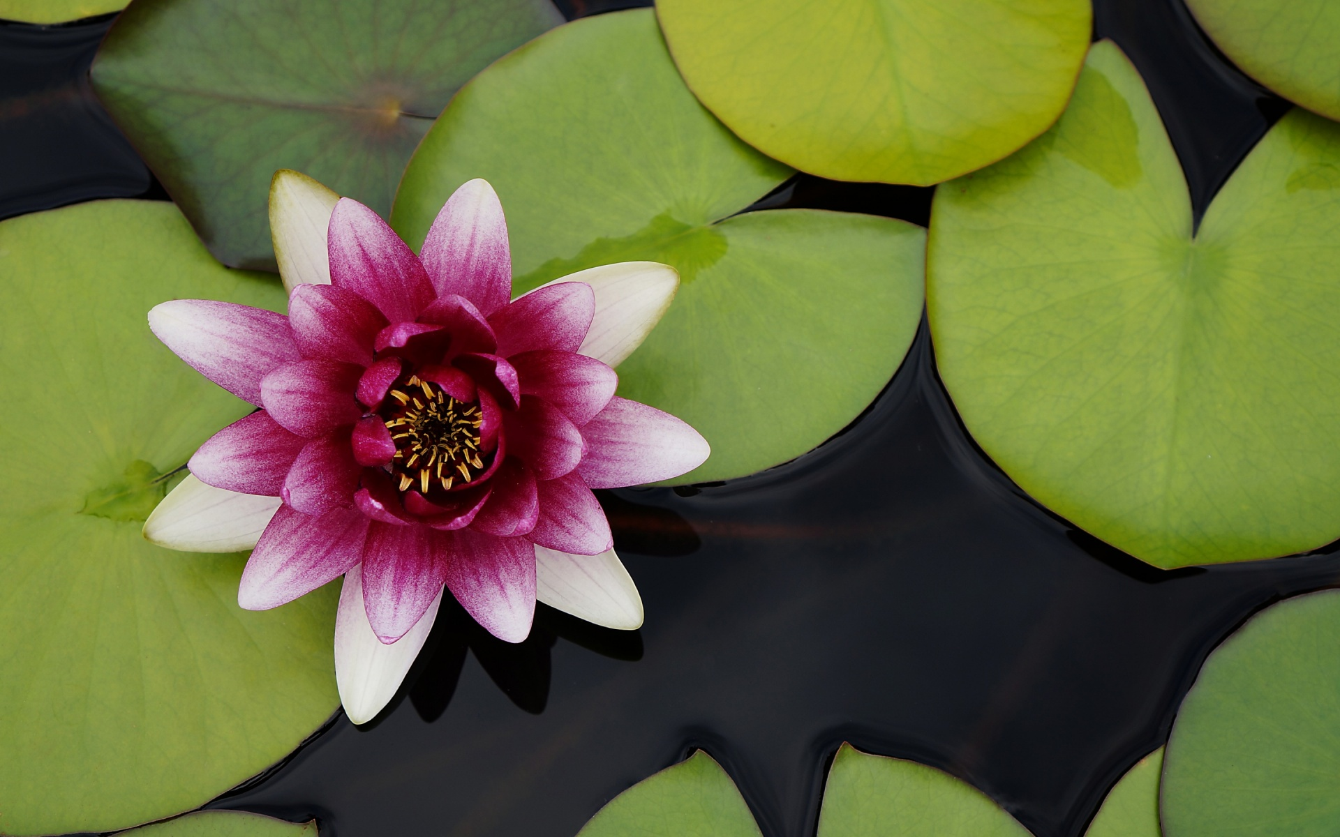 Beautiful Water Lotus Flower