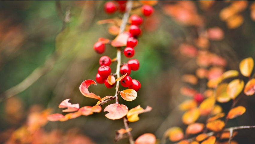 Berries Red Branch Autumn Leaves