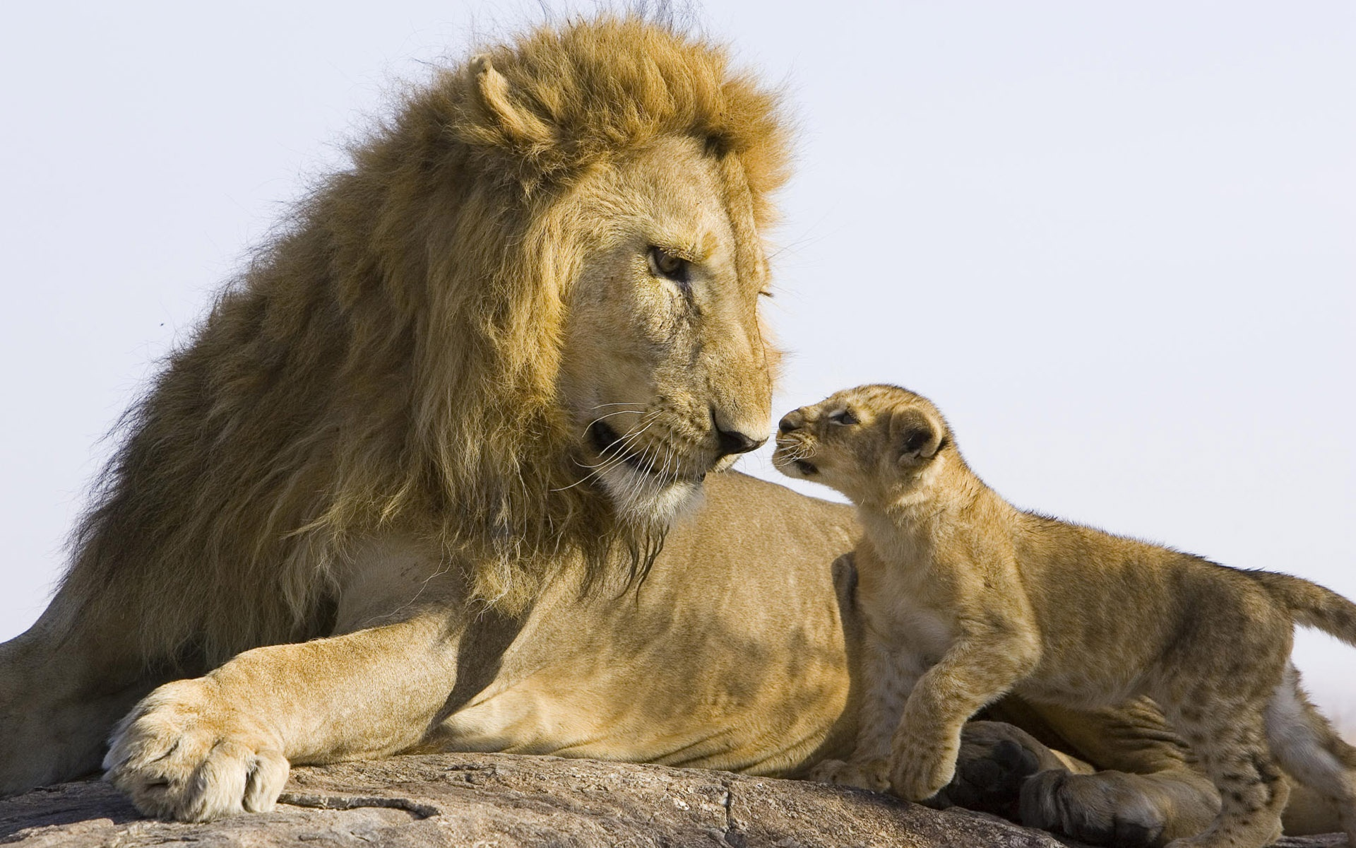 Big Lion And baby Lion Wallpapers