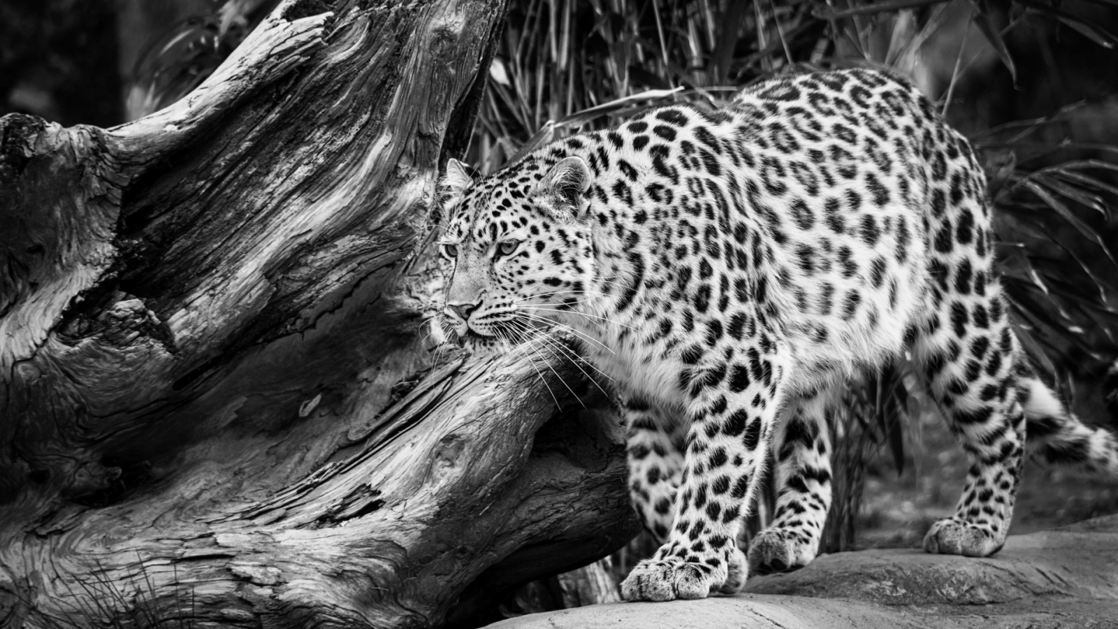 Black And White Wild Leopard | 1600 x 900 | Download | Close: bhmpics.com/view-black_and_white_wild_leopard-1600x900.html
