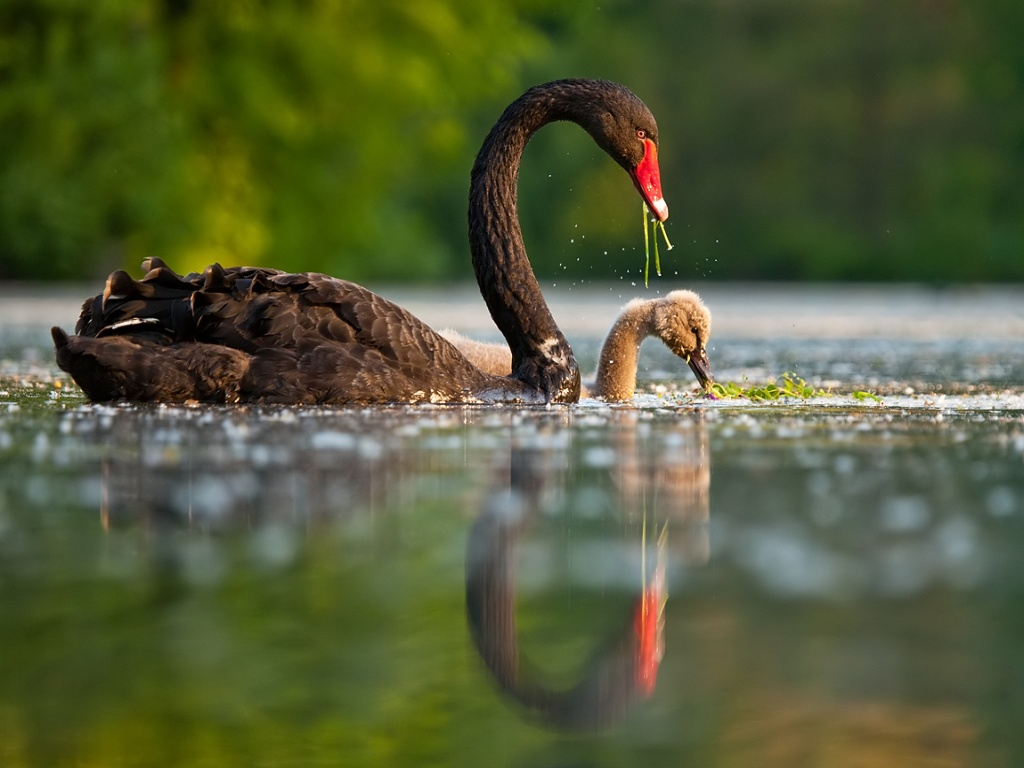 Black Swan With Baby Swan