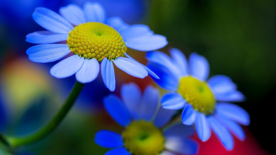 Blue Flowers Petals Plant Nature