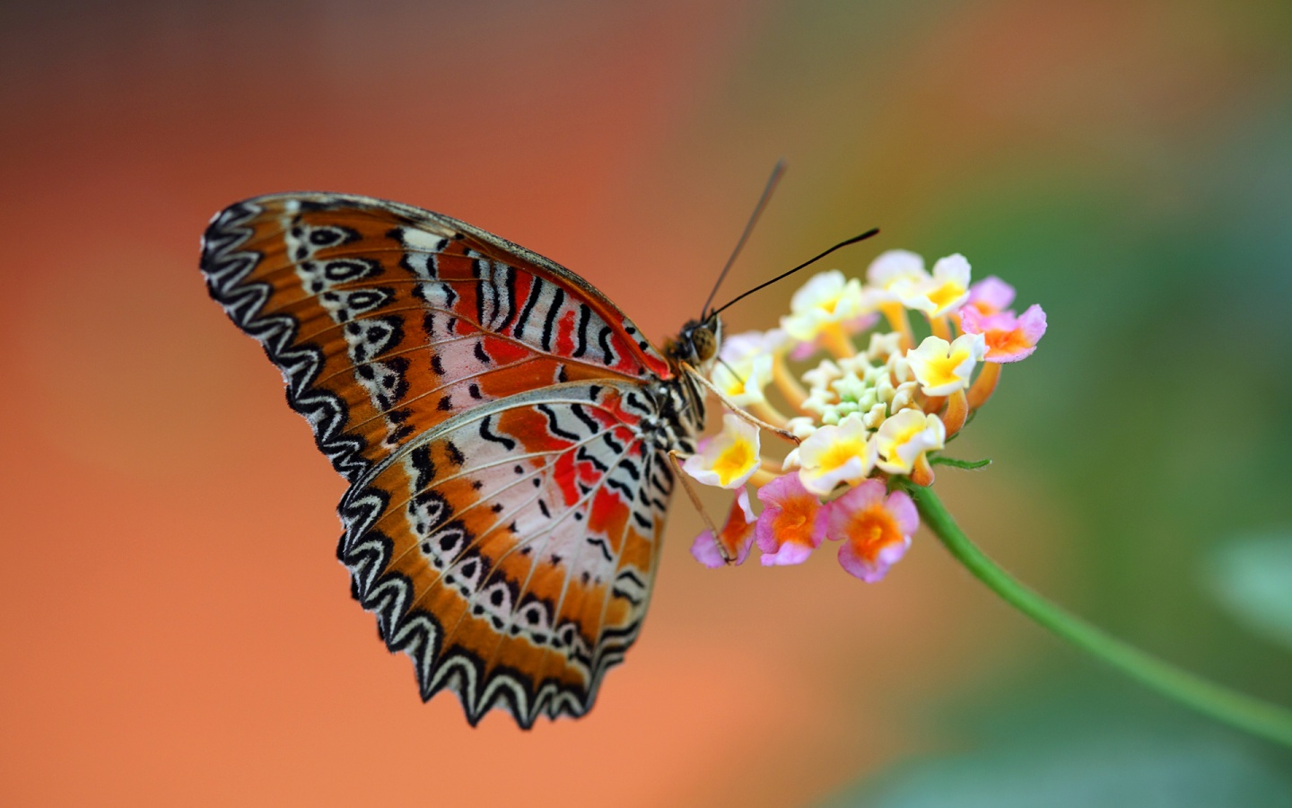 Butterfly Orange With White