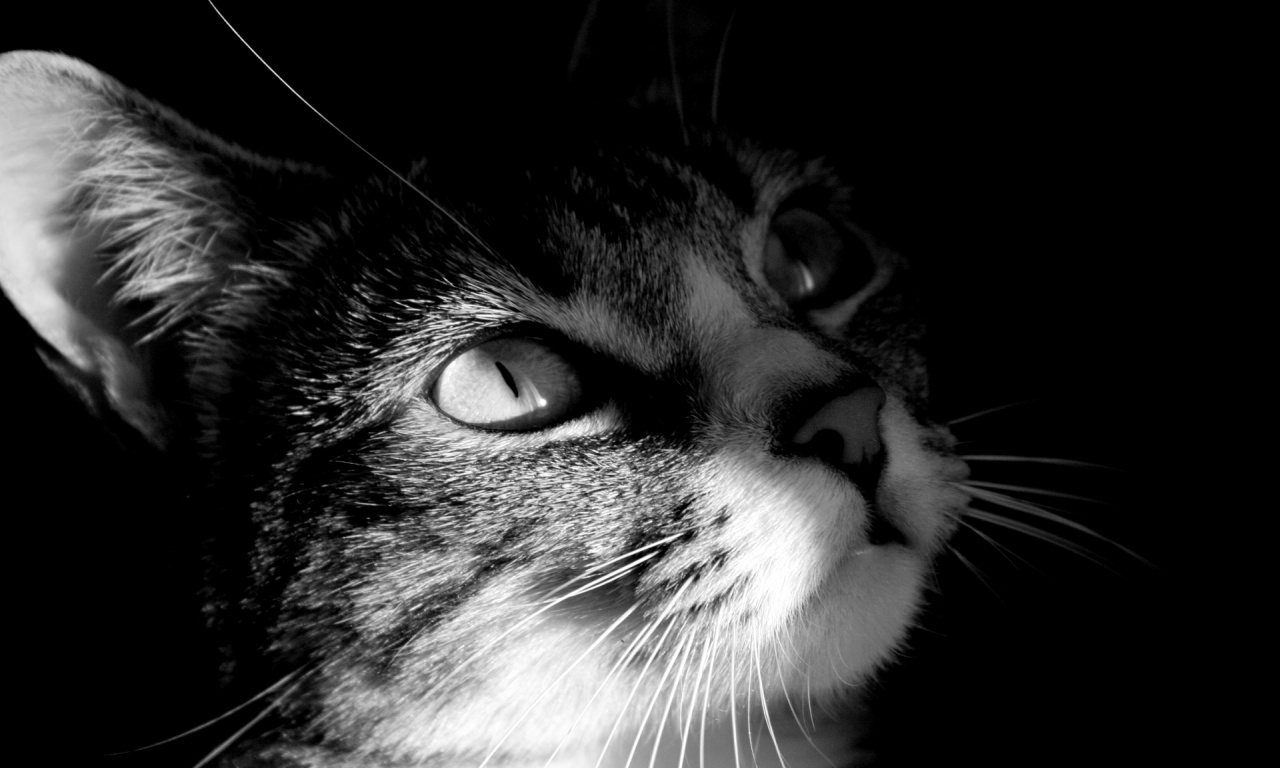 Cat Head in Black and White