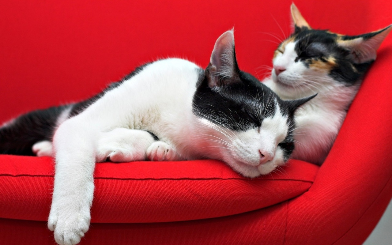 Cats Sleep On Red Sofa