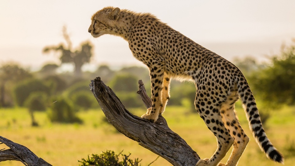Cheetah Tree Branch Africa