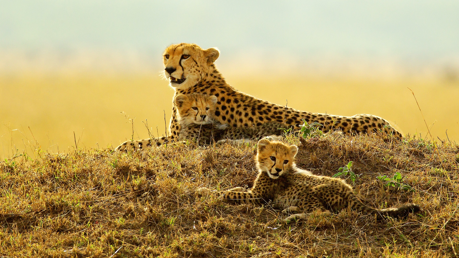 Cheetah With Her Young Cubs At Sunset