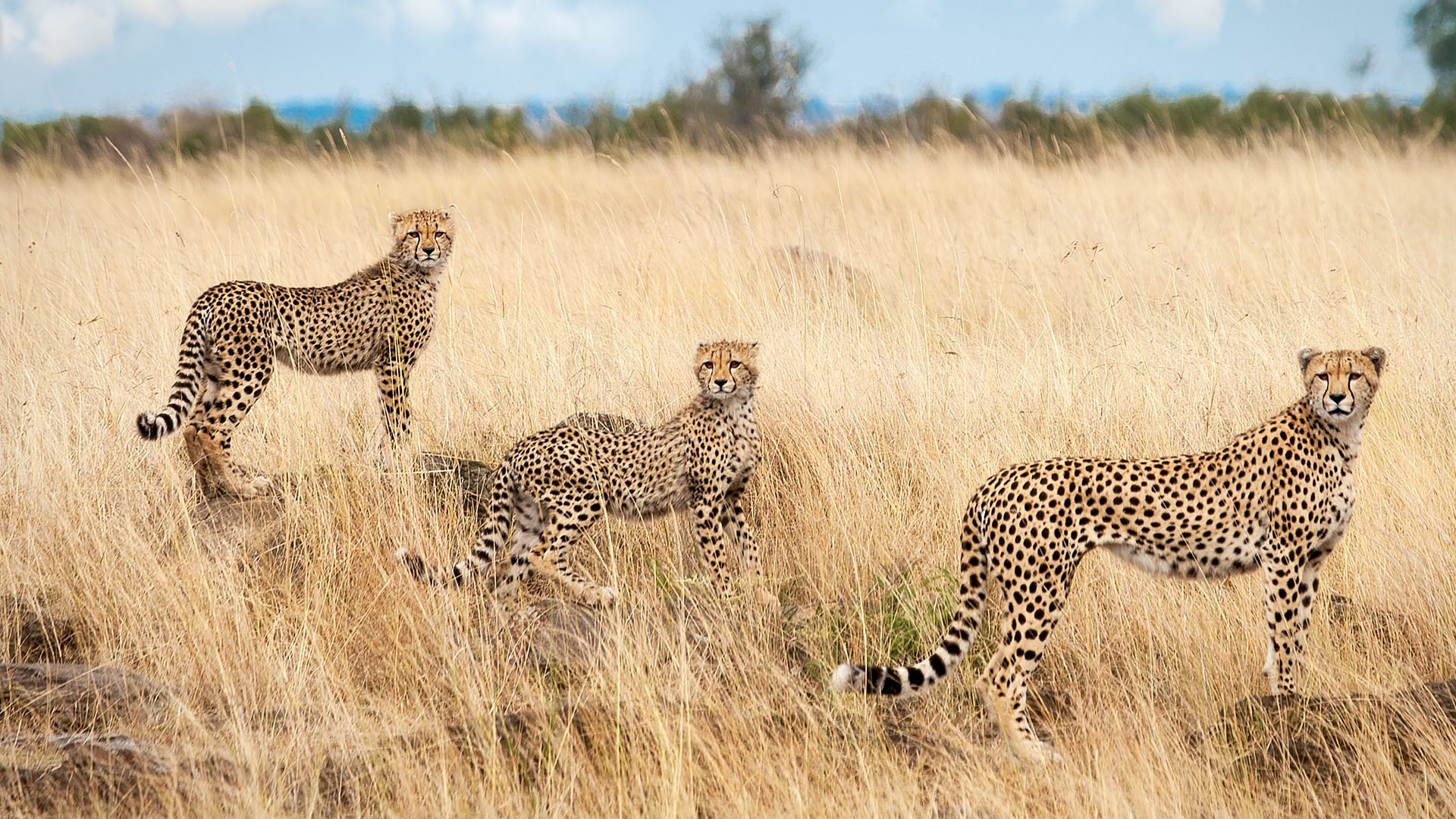 Cheetahs At Savanna