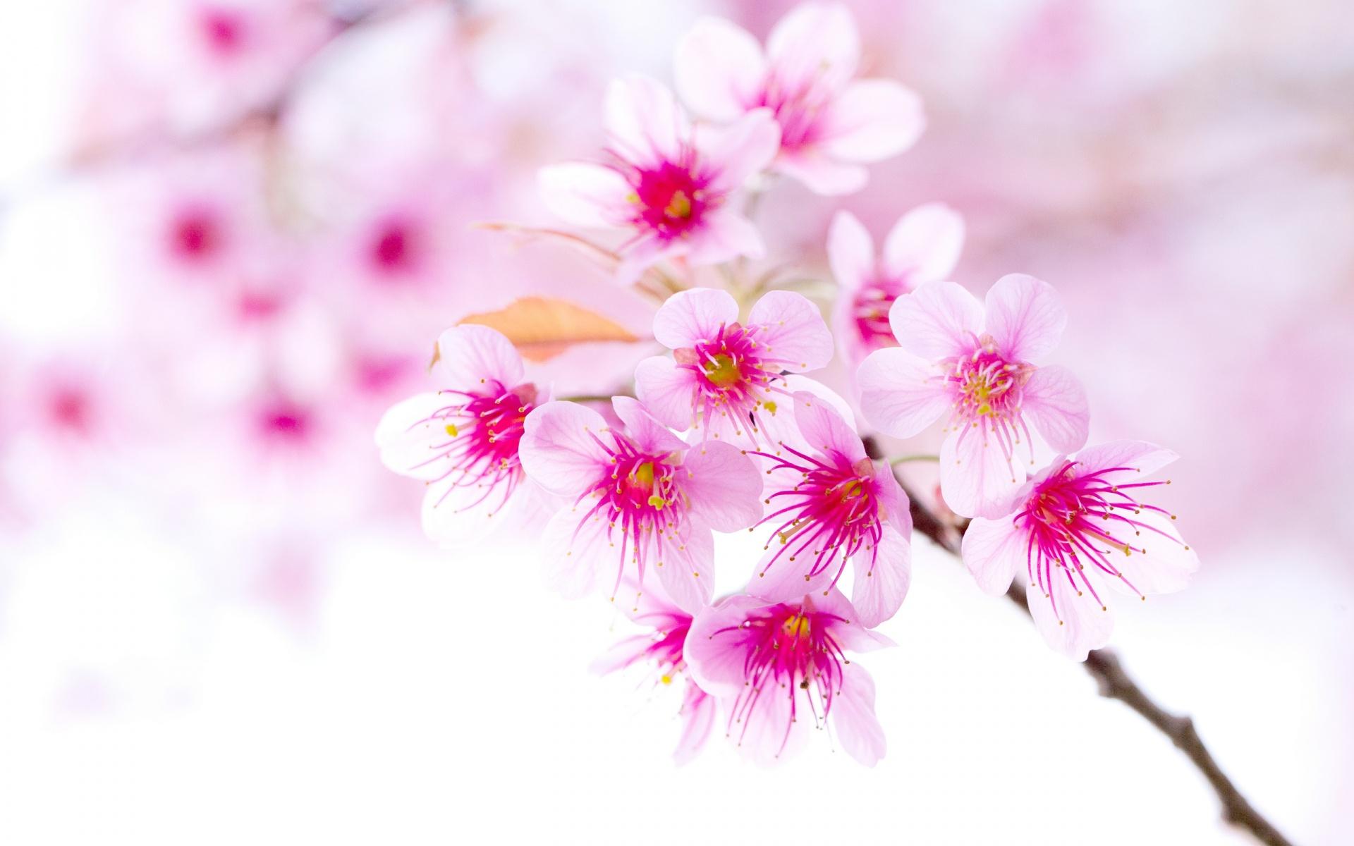 Cherry Blossom Pink Sakura Flower Wallpapers