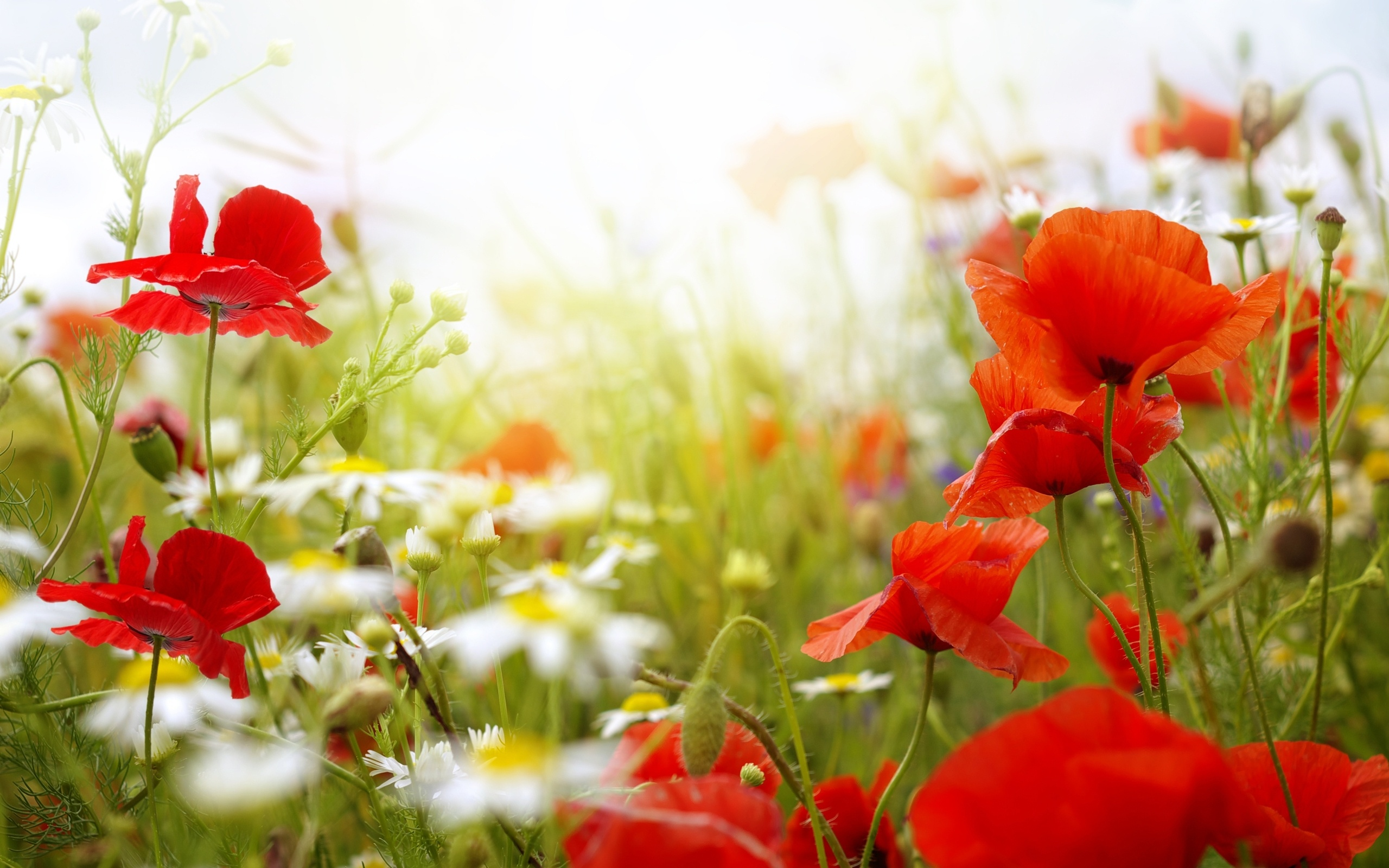 Colorful poppy flowers 2560 x 1600 download close