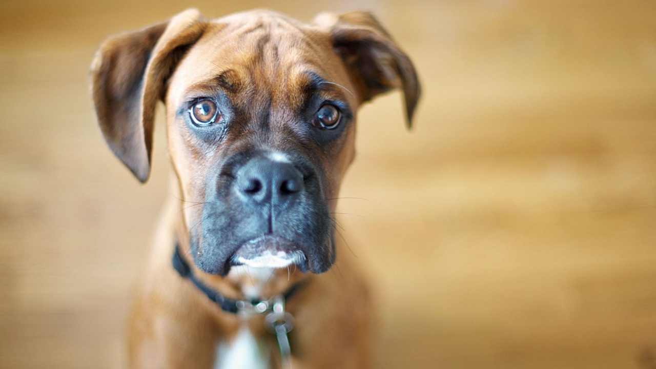 Confused Boxer