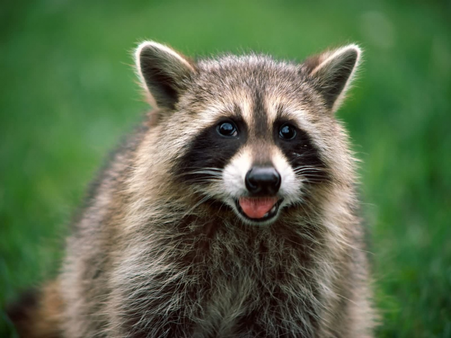 Cool Raccoon