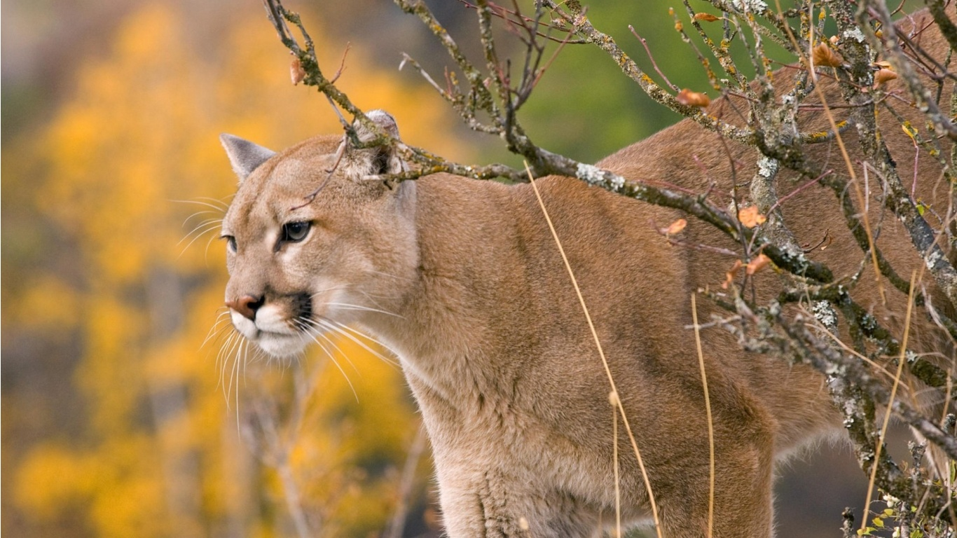 Cougars Autumn